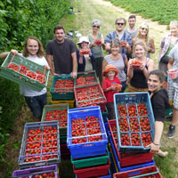 Strawberry-gleaning-15