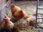 three chickens in a barn